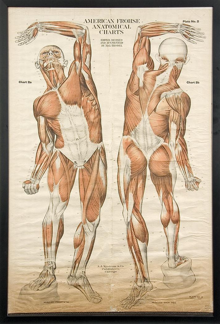 A Vintage Anatomical Wall Large Antiques Decorative Arts