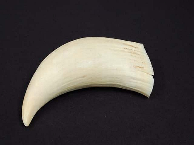 Orca Tooth for Sale http://www.antiquesreporter.com.au/index.cfm/lot/247862-whale-tooth-polished-specimen-c1900s-from-albany-wa-length-17-cm/