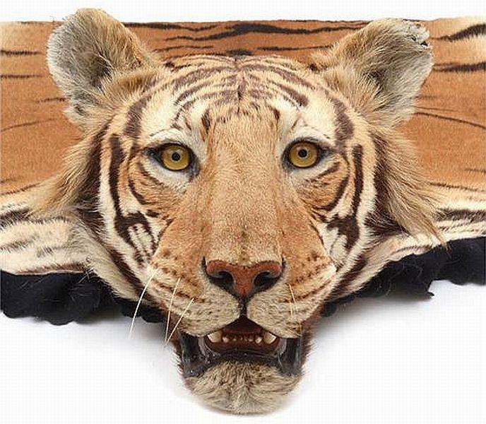 A Large Bengal Tiger Skin Rug…